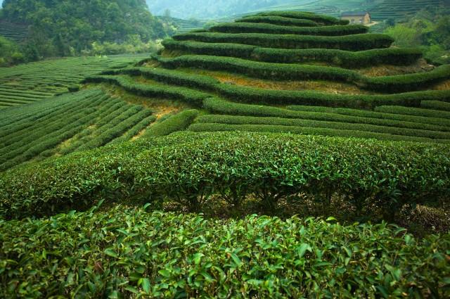 China, Fujian Province, Unesco World Heritage Site,Wuyi Mountain, Tea garden