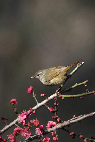 Japanese Nightingale, Japan
