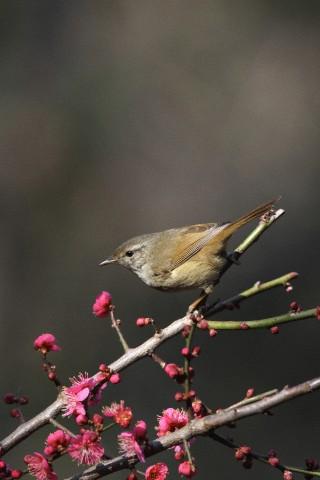 Japanese Nightingale, Japan